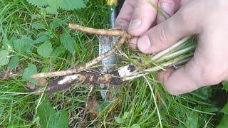 Рецепт лесного кофе из корней одуванчика