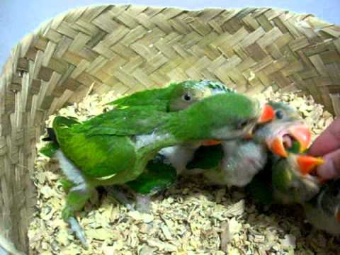 Moustached parakeet  babies feeding time
