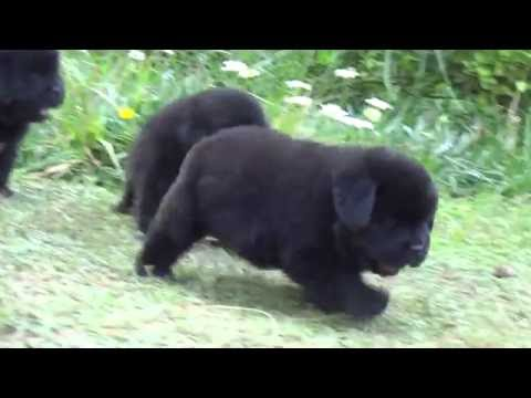 Newfoundland puppies (dog breeders )of Simha kennels india