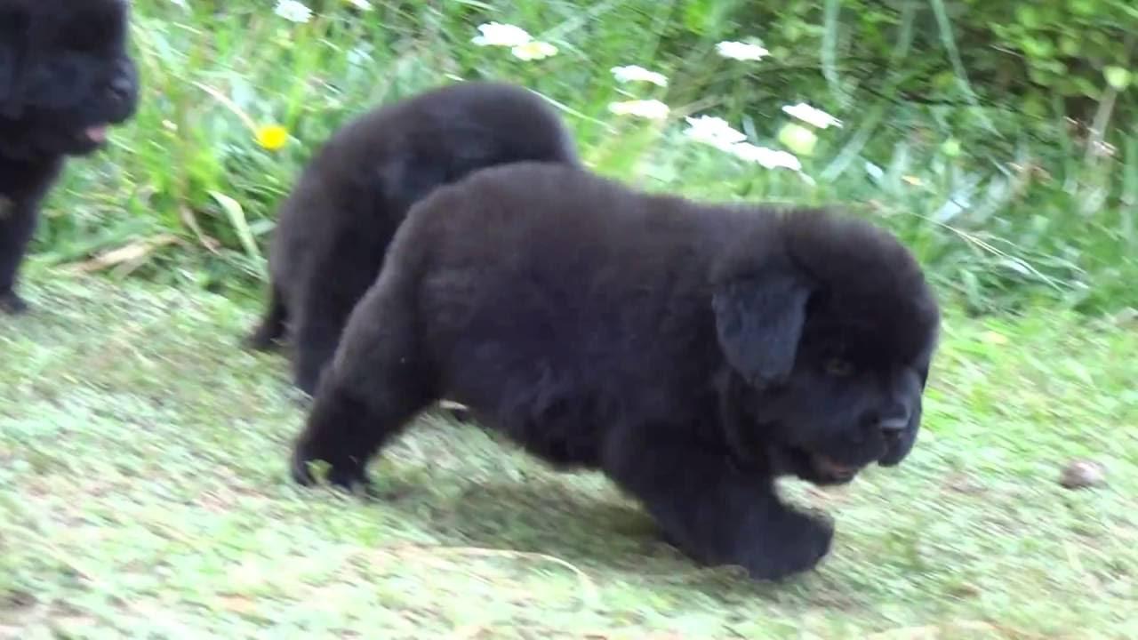 Newfoundland Dog Brown Puppy