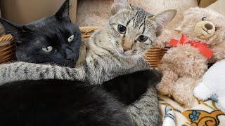 先輩猫にベッタリ甘える子猫の1日