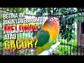 Suara Betina Ini Bikin Lovebird Kalian Melongo Atau Gacor Akut  Mp3 - Mp4 Download