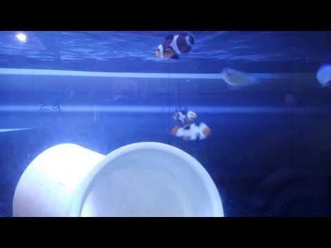 WYSIWYG Onyx Picasso Clownfish