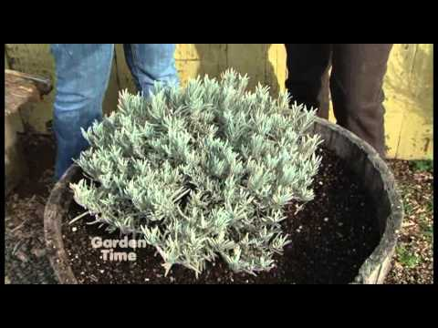 Spring Lavender Pruning Youtube