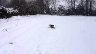 Benny The Springer Spaniel Catches Pheasant!!