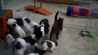 7 PapillonPuppy 10 & 11 weeks old Part 4