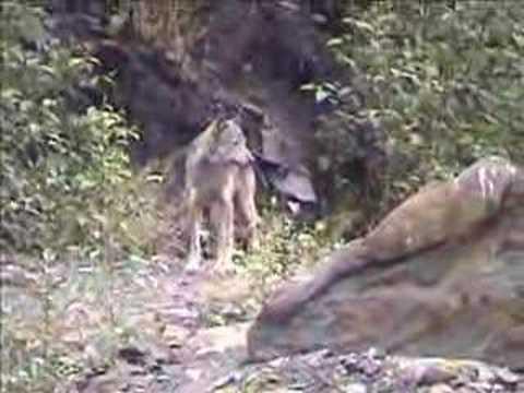 Prince Rupert wolves2
