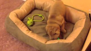Shar Pei 9 Weeks Old Playing