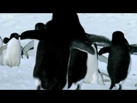 Penguins - BBC