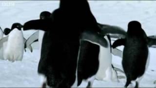 Flying Penguins | World Penguin Day | BBC