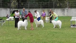 Самоедская собака, видео с выставки собак в Великом Новгороде