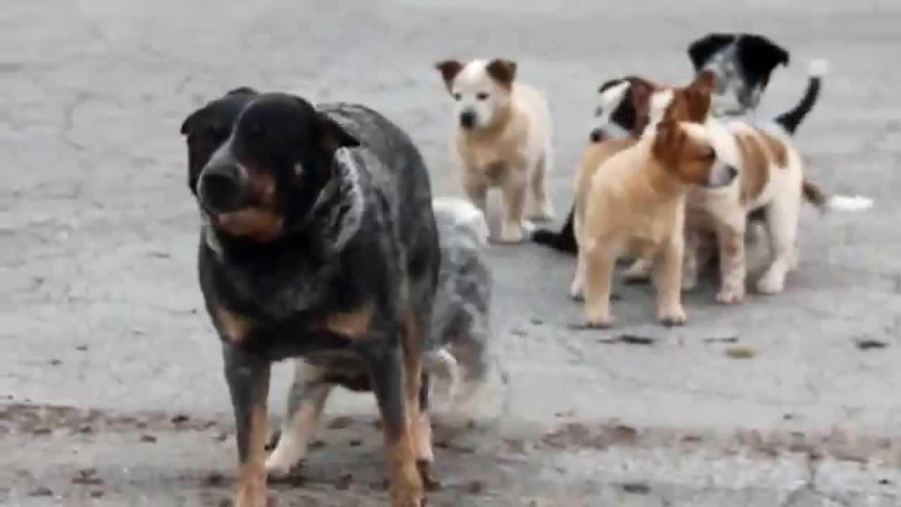 Free Australian Cattle Dog Puppies