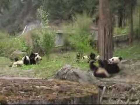 Take a look inside the world's largest Giant Panda...