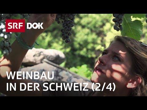 Ein Jahr in den Rebbergen – Frühling (2/4) | Weinbau in der Schweiz | Doku | SRF DOK