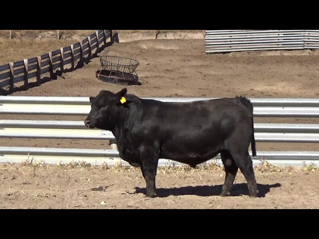 Connealy Angus Lot 170