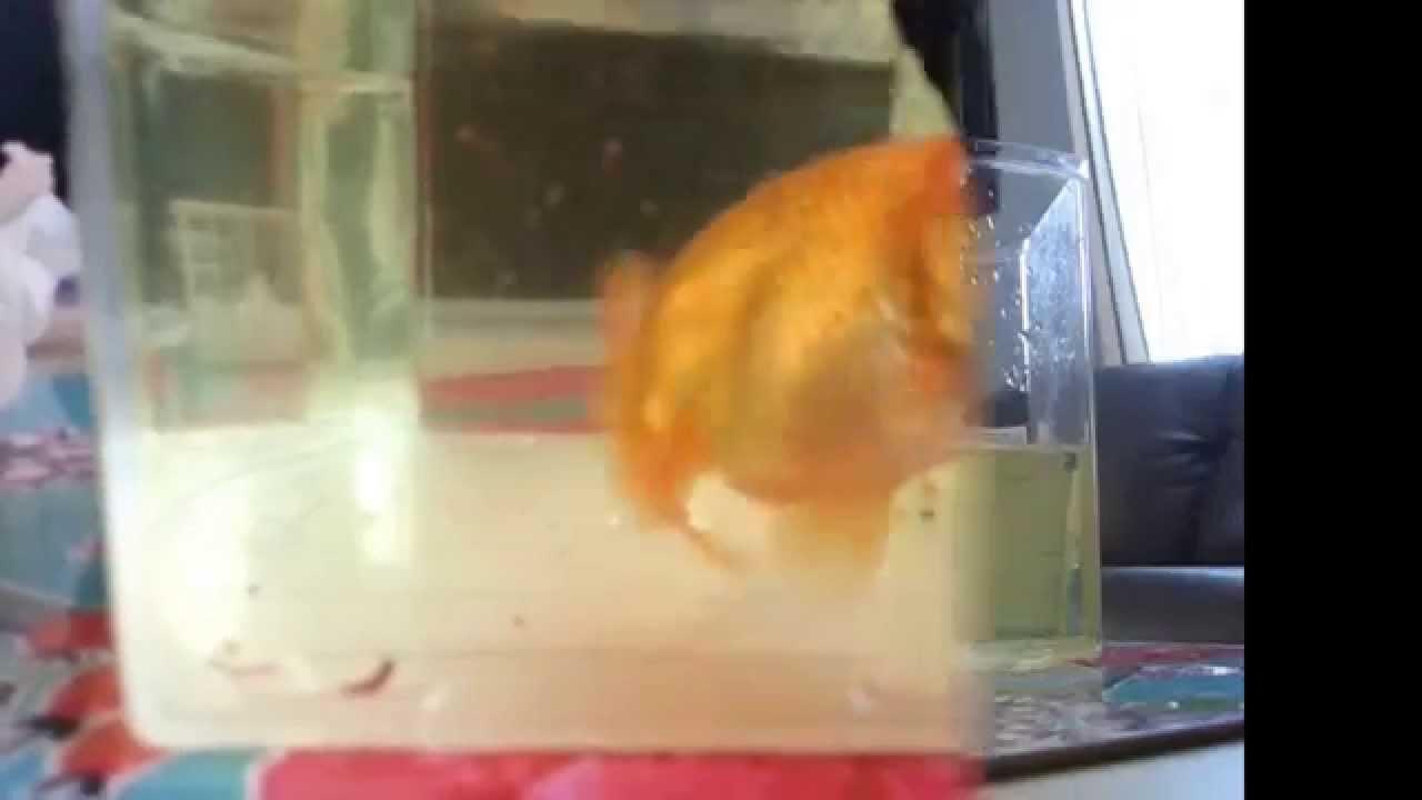 Fish aquarium in ecr - An Ecr Ranchu Unboxing D