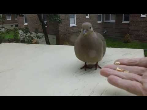 How I Did Domesticate a Mourning Dove in Few Minutes.HD