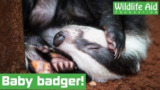 Tiny badger cub rescued!