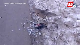 Хищные птицы нападают на голубей в Вологде
