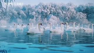 How enchanting! #Slowmo video of swans waltzing in Ile River in NW China's Xinjiang.