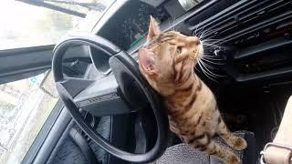 бенгальские кошки, бенгал водитель