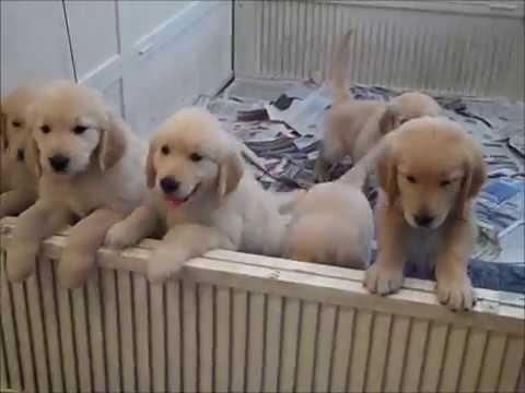 Puppies Golden Retrievers In Jupiter Florida Youtube