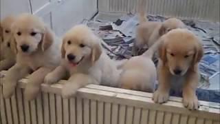 Puppies, Golden Retrievers In Jupiter Florida