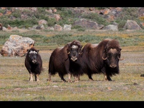 Wild Greenland - home of musk oxen and arctic char
