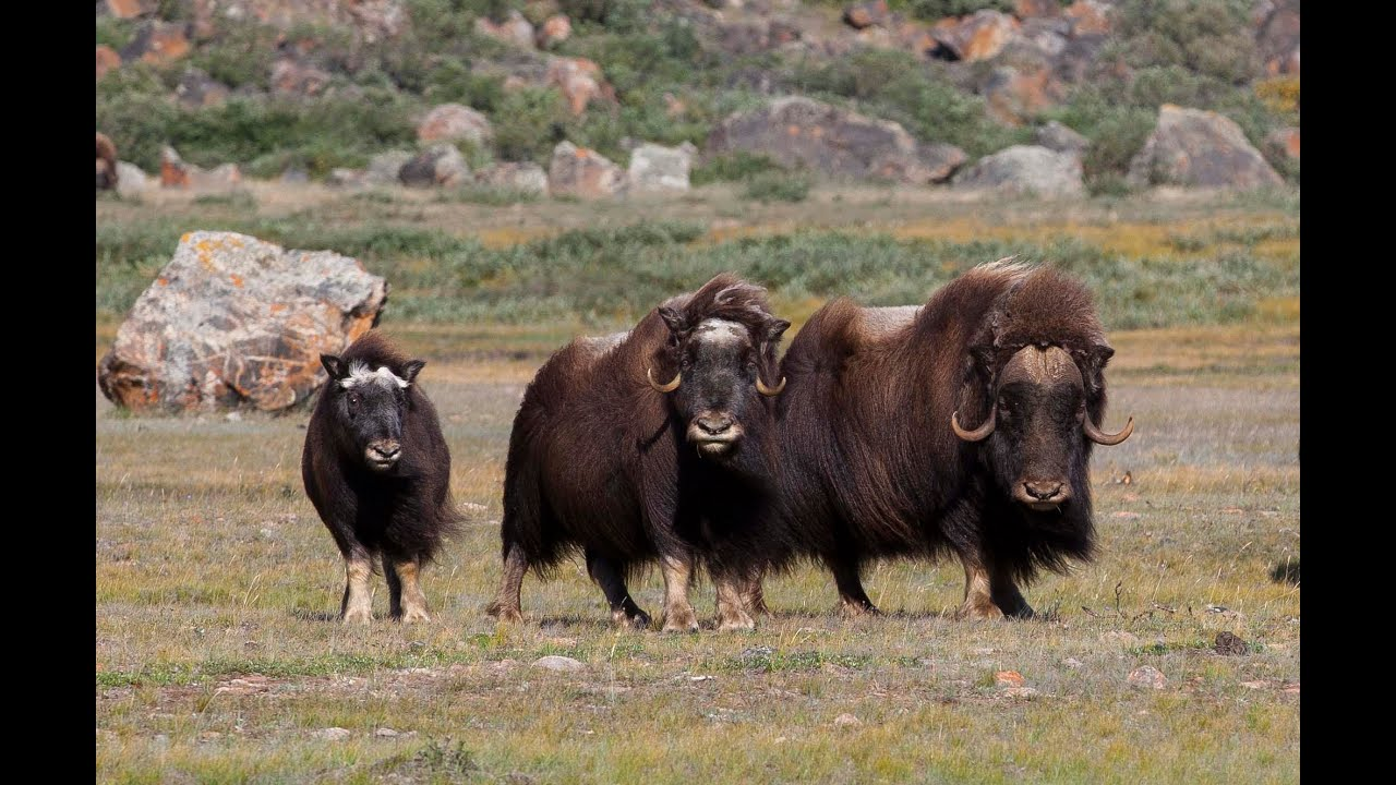 Wild Greenland - home of musk oxen and arctic char - YouTube