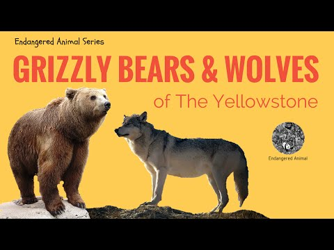 Endangered Animals Grizzly Bears and Wolves: Grizzly Bears and Wolves of Yellowstone