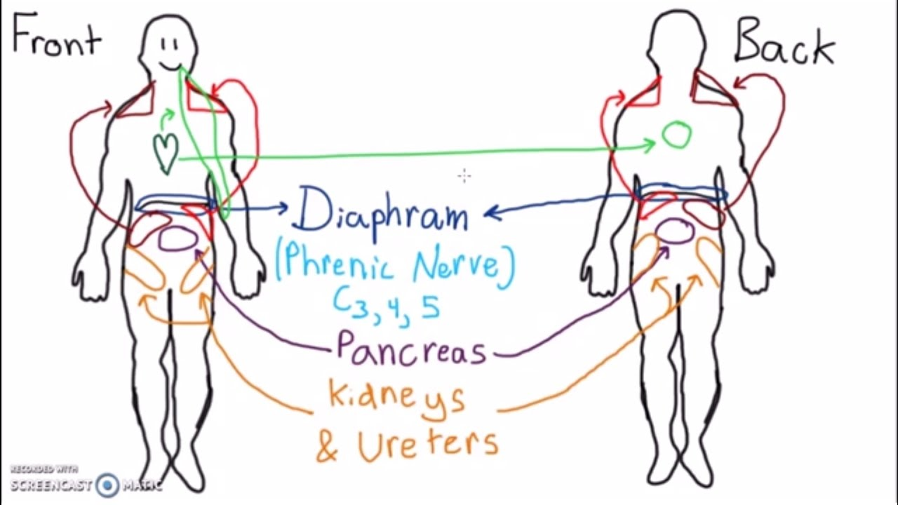 Abdominal Dermatomes And Referred Pain Youtube