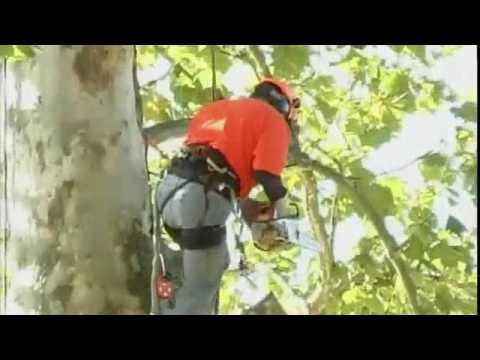 Sycamore Tree Trim
