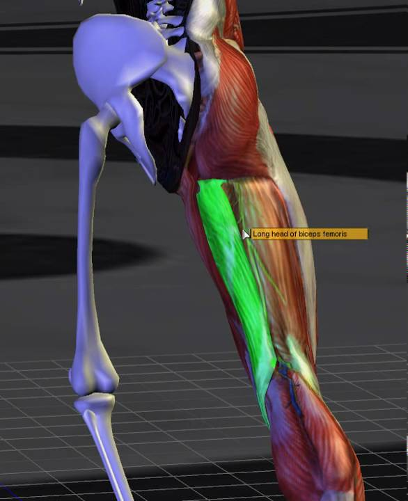 dolor biceps femoral derecho