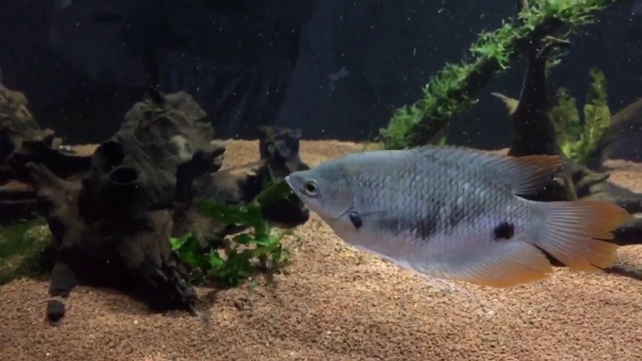 Atualização do aquário de Botias e Aruanã Crossback