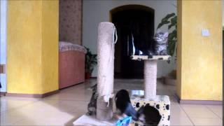 Котята породы Курильский бобтейл  (фильм 4).