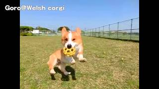 Youtube Video Editor Test 1 Trimming - Goro@welsh Corgi