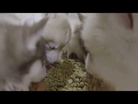 Поздний ужин щенков хаски. ЗВУК!!! Щенки хаски онлайн. Husky puppy online. Все будет Хаски!