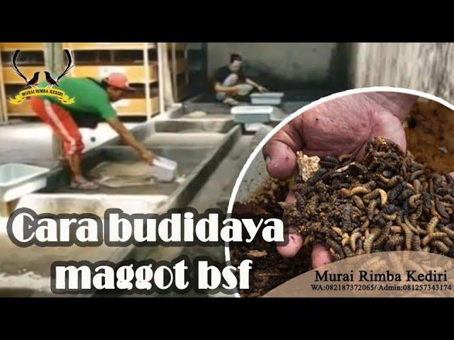 Cara budidaya maggot bsf