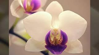 Орхидеи Фаленопсис Фото для Вдохновения Цветы Орхидея