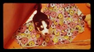 Моя собака породы сибирская хаски по клички Гром!!!😍🐶💜💙💚💛