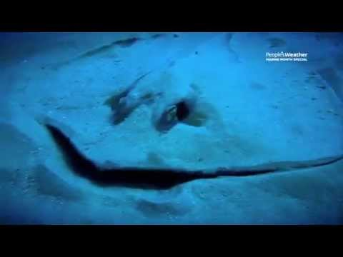 The Manta ray Queen - Ocean Stories