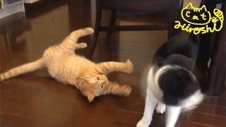 兄猫チロをあきらめて、老猫クロと遊ぶことにしたみたいです。 しかし、...