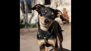 Chi Chi - Female Chiweenie Available for Adoption!