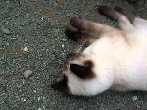 前足で「かたつむり」をつかむシャム猫ちゃんCat playing with snail【いなか猫704】