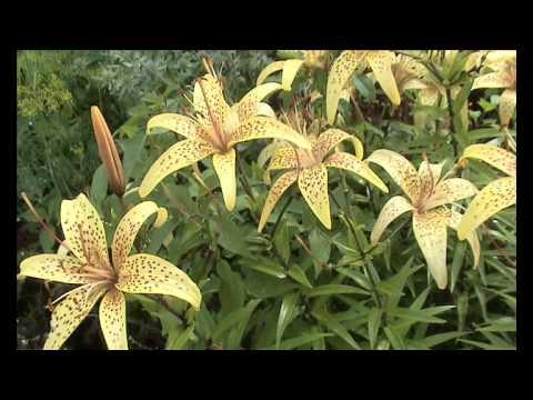 Кохия-бассия: выращивание, размножение, посадка и уход