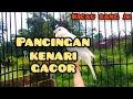 Kenari Gacor Ngerol Panjang  Mp3 - Mp4 Download