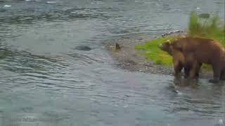 12+ Природа Аляски Бурые медведи спариваются на Brooks River Mating of brown bears 2015