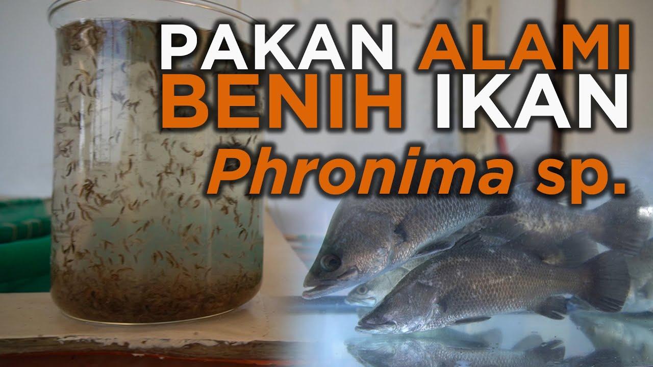 Pakan Alami Benih Ikan Murah Phronima