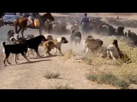 Central Asian Shepherd Dog Fight In The Wild thumbnail