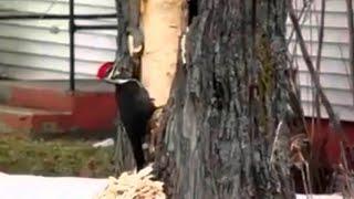 Дятел психанул: ролик с отчаянной птицей набирает популярность